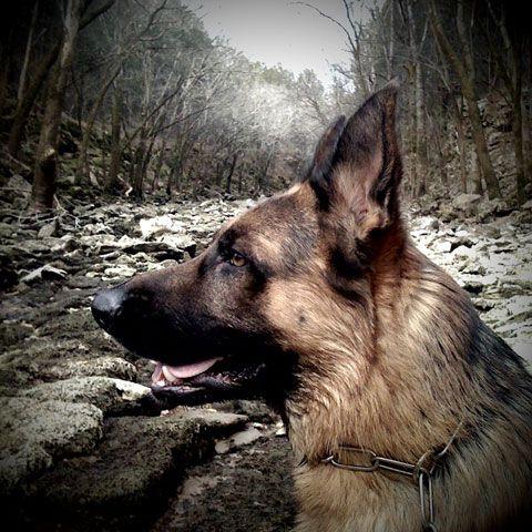 Love The Shepherd German Shepherd Breeds Dog Photos Best Dog Photos
