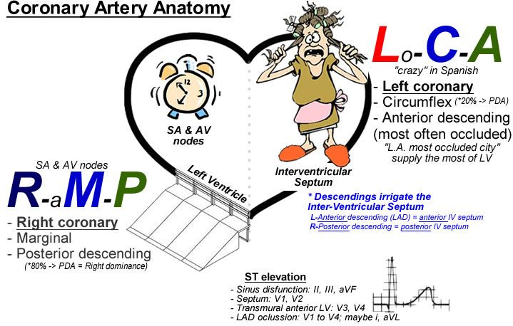 Usmle anatomy questions