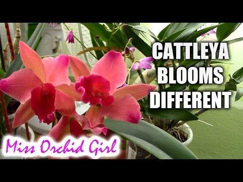 Youtube Cattleya Orchid Cattleya Orchid Flower