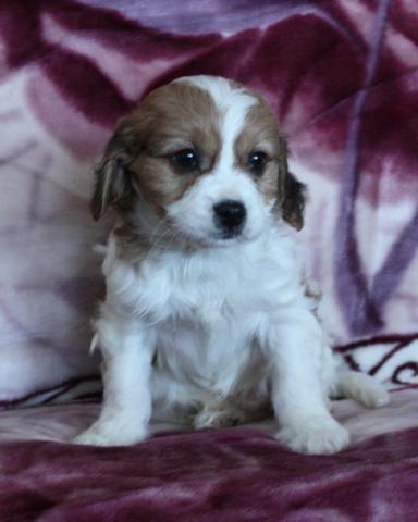 Cavashon Puppies For Sale Lancaster Puppies Lancaster Puppies Puppies For Sale Puppies