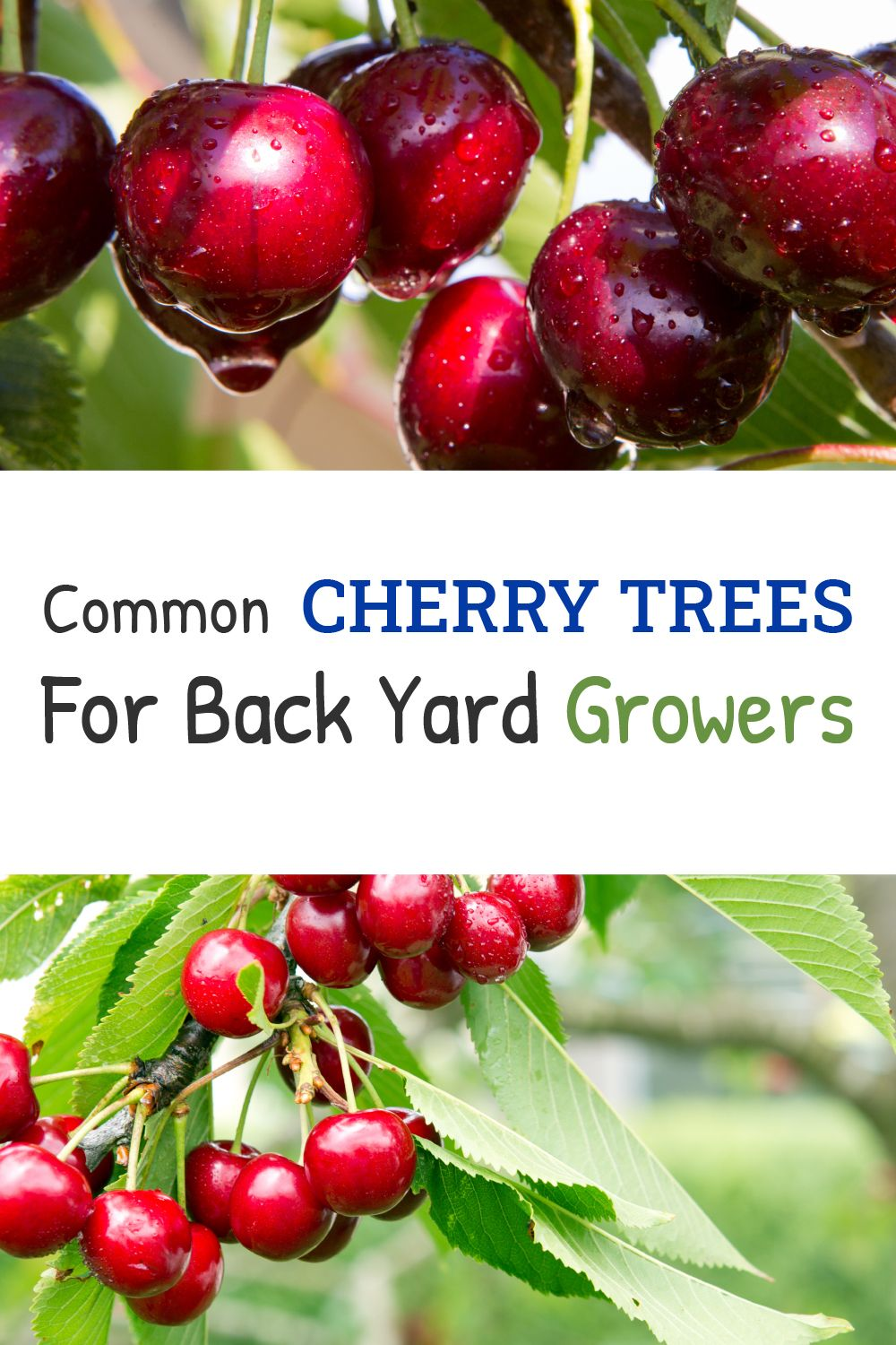 30 Cherry Varieties Common Cherry Trees For Back Yard Growers Luv2garden Com Cherry Tree Home Grown Vegetables Chokeberry