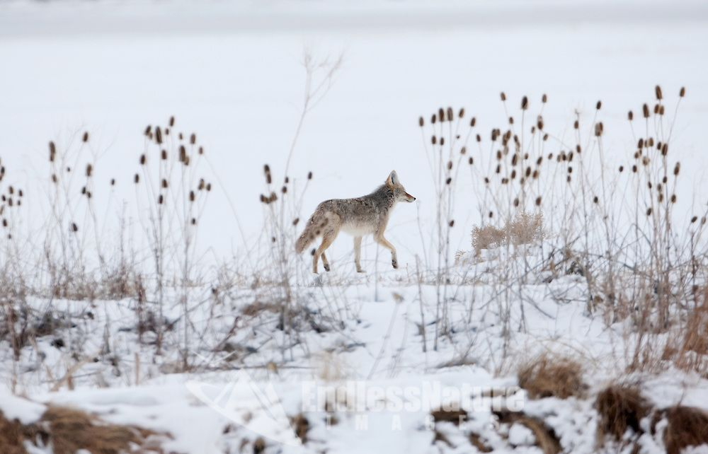 Lone Coyote hunting for its next meal along the Bear River