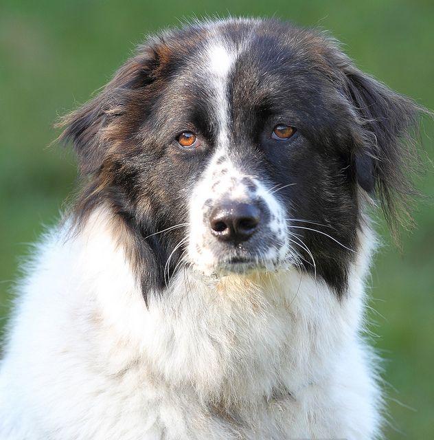 Bella Karakatschan Karakachan Dog Races De Chiens Chien