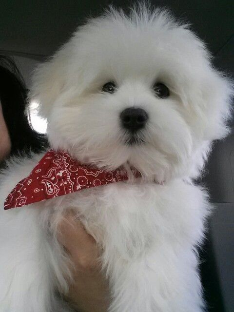 Our Maltese Dog Brunno Be Is So Cute Teacup Puppies Maltese