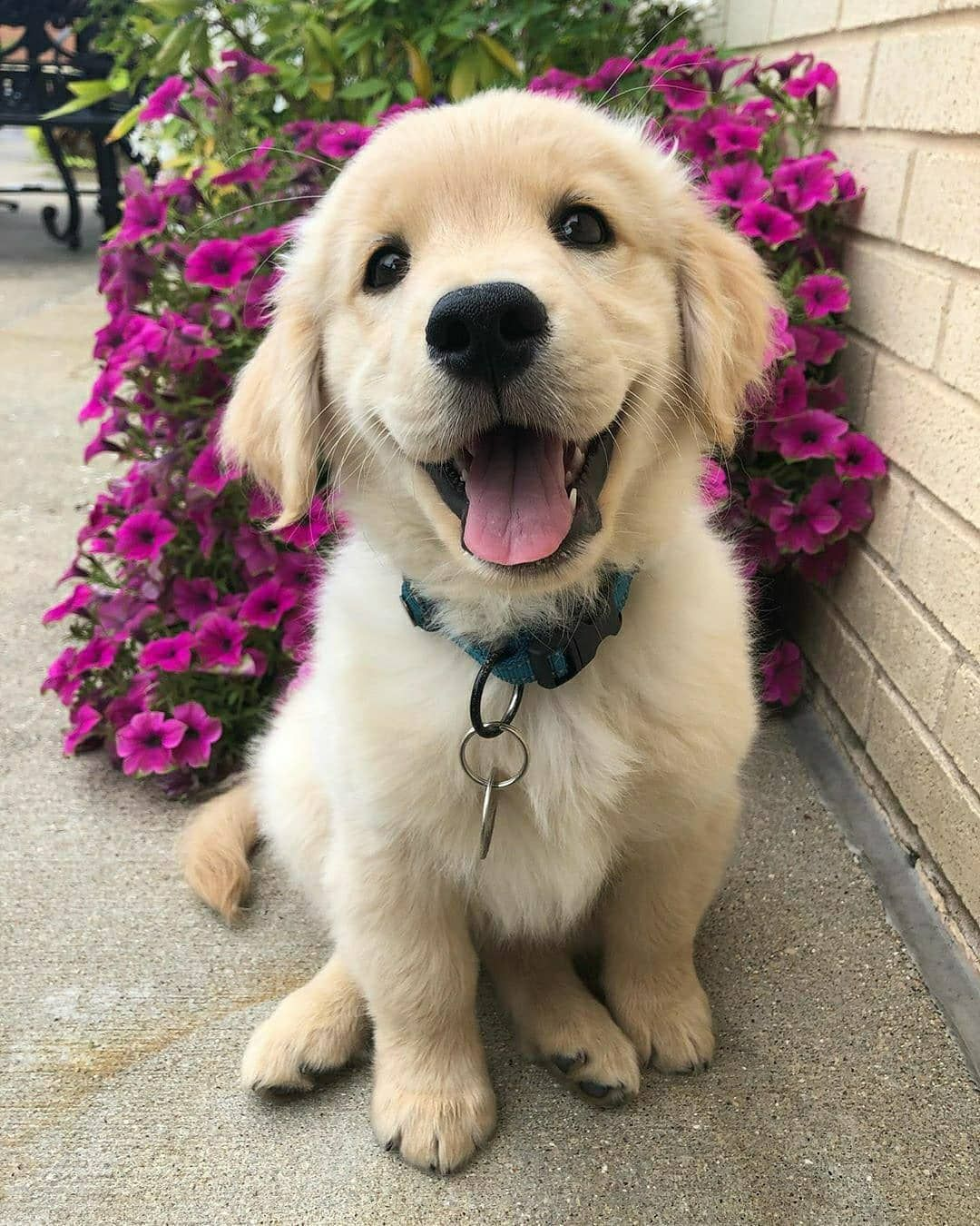 Golden Retriever S Instagram Profile Post Happy Puppy Happy Doggo Hello It Remi In 2020 Cute Dogs Cute Baby Animals Baby Animals Pictures