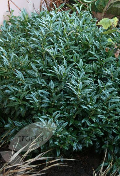 Sarcococca Confusa Sweet Box Garden Shrubs Shade Plants