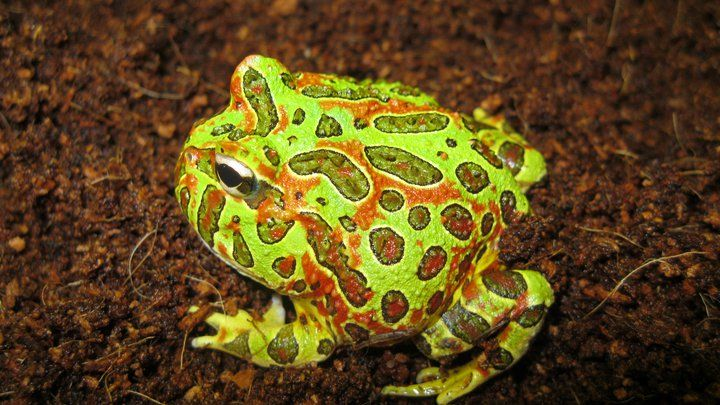 Ornate Pacman Frog 2 By Reptileman27 Deviantart Com On Deviantart