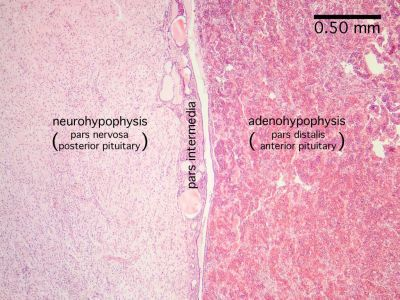 Pituitary Histology Labeled Pituitary Histology Pituitary