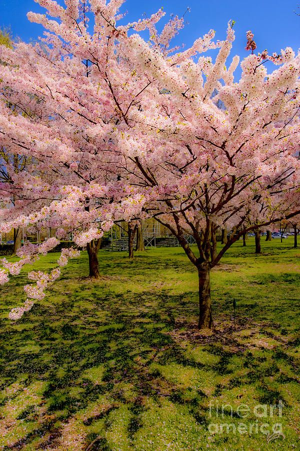 Pin By Diane Aldrich On Amazing World Beautiful Landscapes Nature Cherry Blossom Art