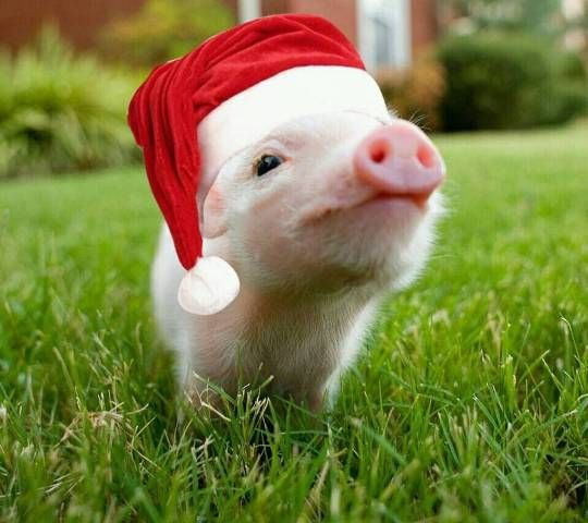 Christmas Pigs.Lovely Christmas Pig Christmas Animals Cute Pigs Mini Pigs