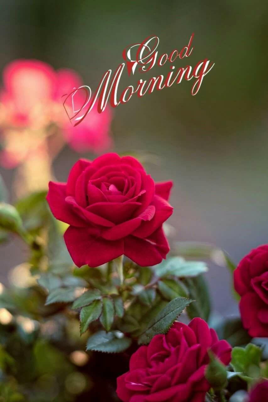 Pin By Jaya On 1 Good Morning Beautiful Flowers Amazing Flowers Rose