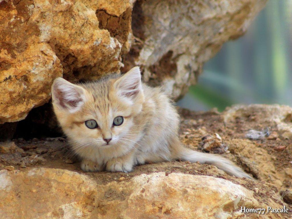 B b chat des sables 2 mois by home77 pascale chat pinterest chat des sables b b chat - Photo de bebe chat ...