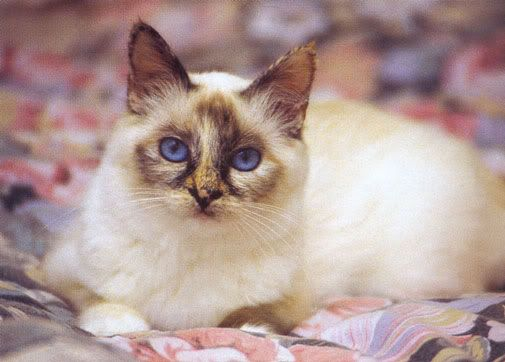 Tortie Point Birman Cute Cats And Kittens Pretty Cats Cat Behavior