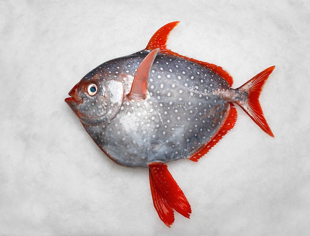 Scientists Have Discovered The First Fully Warm Blooded Fish It S One Of The Most Basic Biology Facts We Re Taught In School Growi Fish Drawings Fish Fish Art