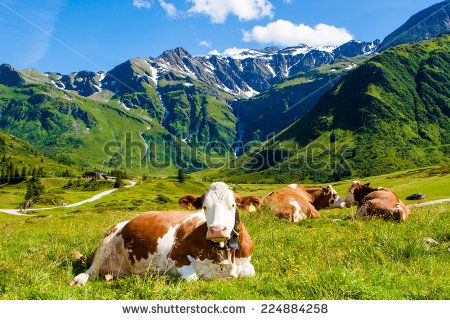 The Cow on grass - stock photo