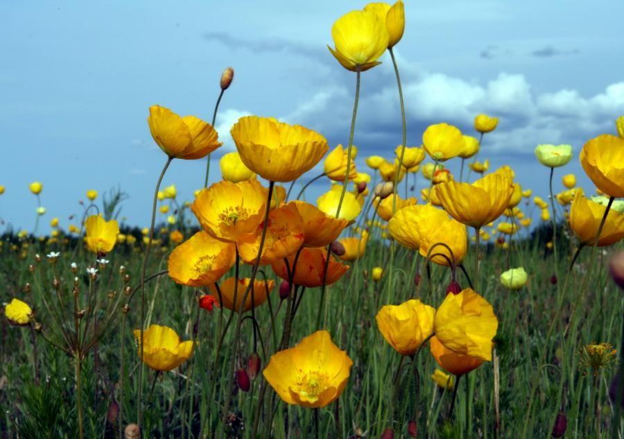 Yellow poppies 3 art pinterest yellow and poppies yellow poppies 3 mightylinksfo