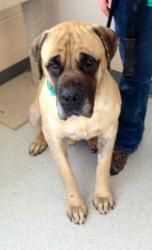 Adopt Rocketman On Mastiff Dogs Animal Welfare Society Pet