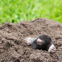 Do Moles Hibernate Mole Hibernation Mammals