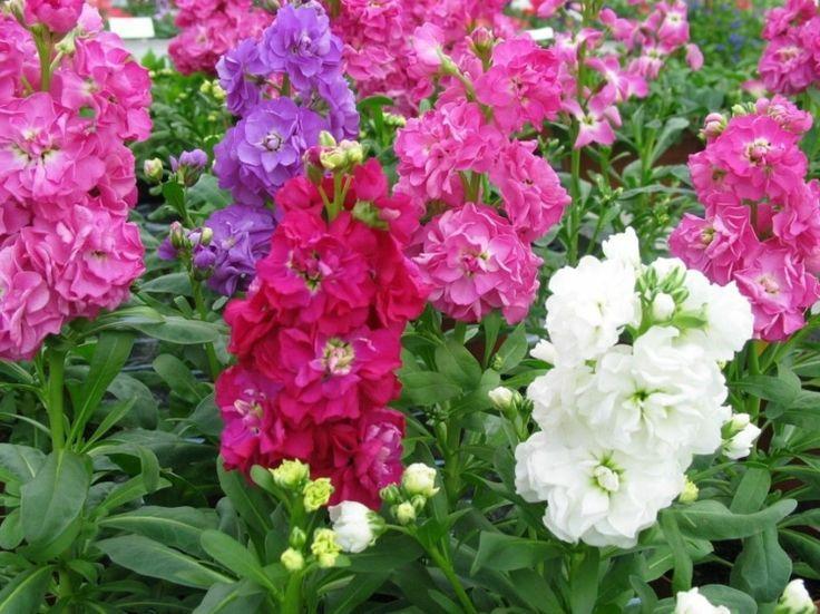 nachtduftende pflanzen garten-levkoje-bunt-blueten-einjaehrig-pink ...