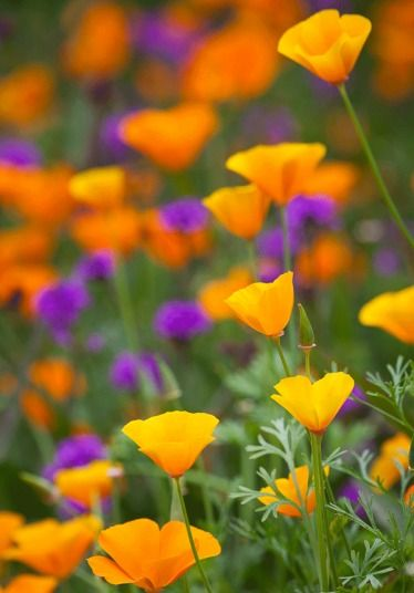Eschscholzia californica 'Orange King' (California poppy) with Verbena rigida at Perch Hill. Design Sarah Raven