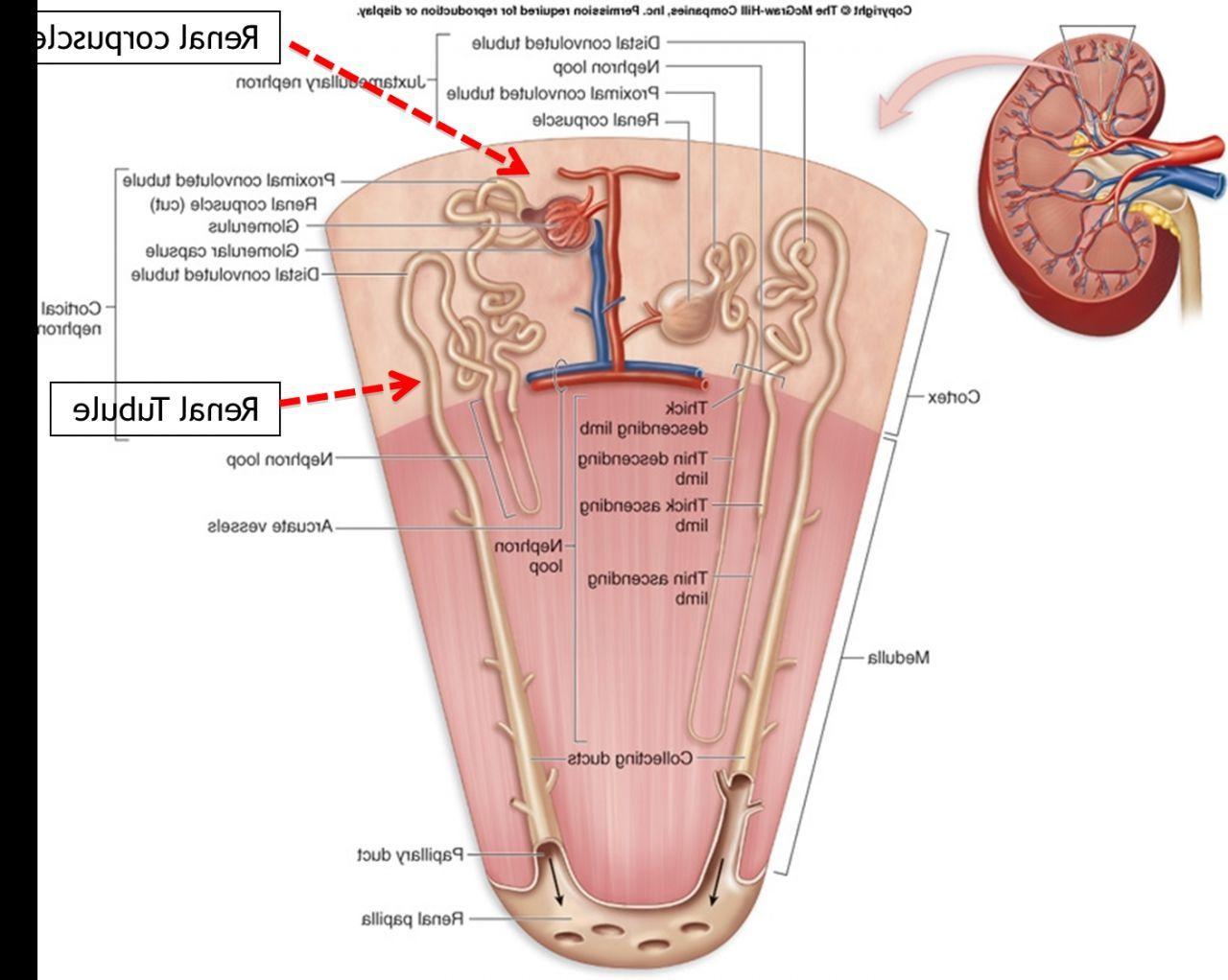 Human Kidney Anatomy Diagram Drawing References Pinterest