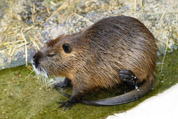 Nutria A Rat Like Pest Ravaging Gulf Coast Wetlands Can Be Lured With New Substance Animals Rare Animals Large Rodents