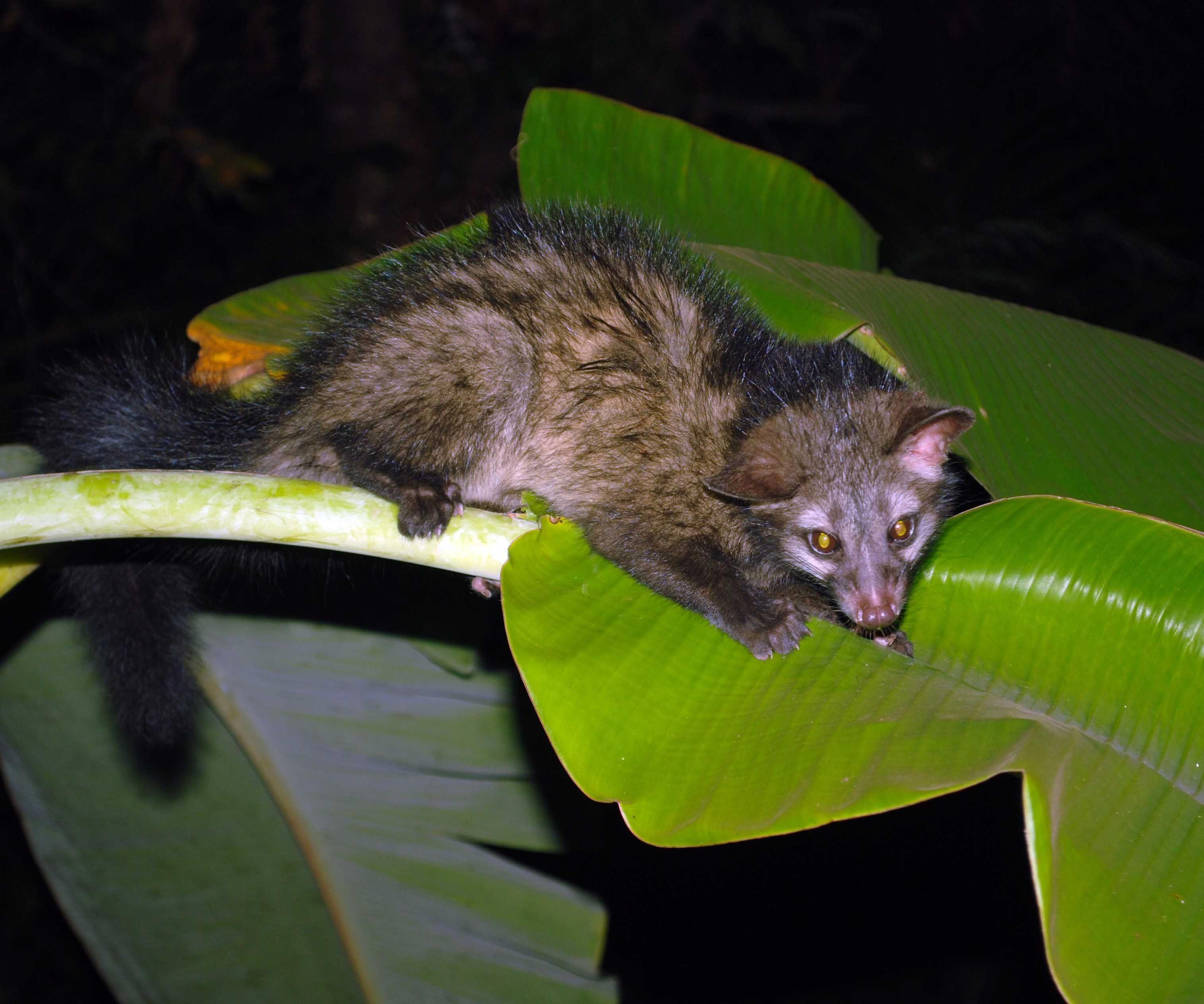 civette palmiste Kopi Luwak coffeewikipedia