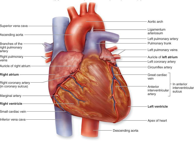 External structure of the heart anatomy physiology pinterest explore structure of the heart heart diagram and more ccuart Images