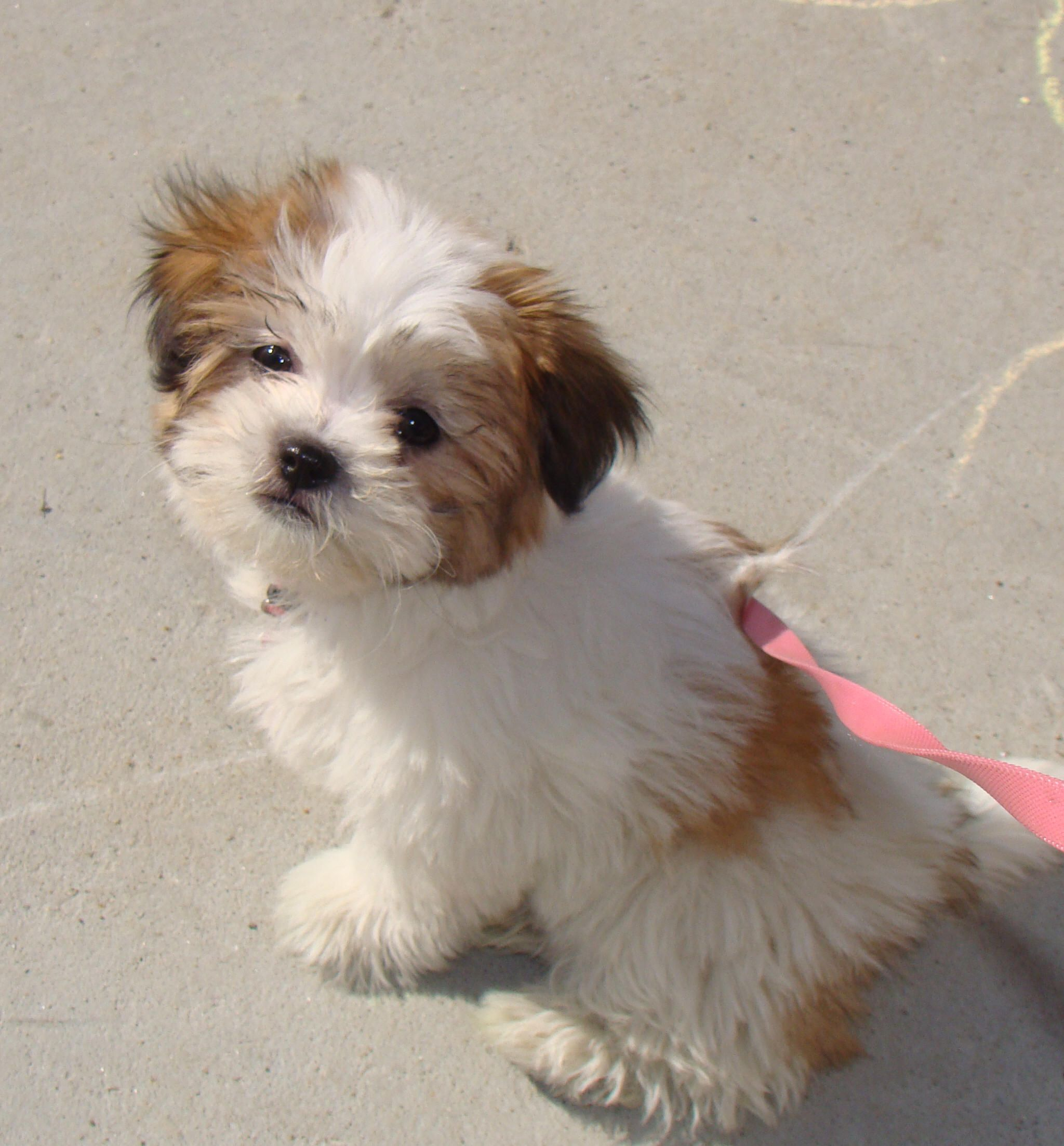 Shichon puppy (Shih'tzu+Bichon Frise) So Cute