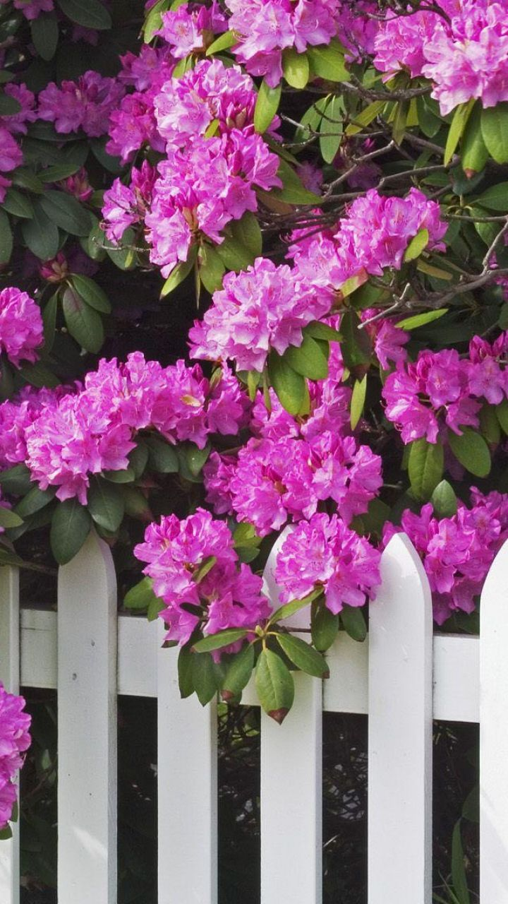 Shrubs with purple flowers at end of branch - Download Wallpaper 720x1280 Rhododendron Shrub Flower Branches Fence Samsung Galaxy S3 Hd