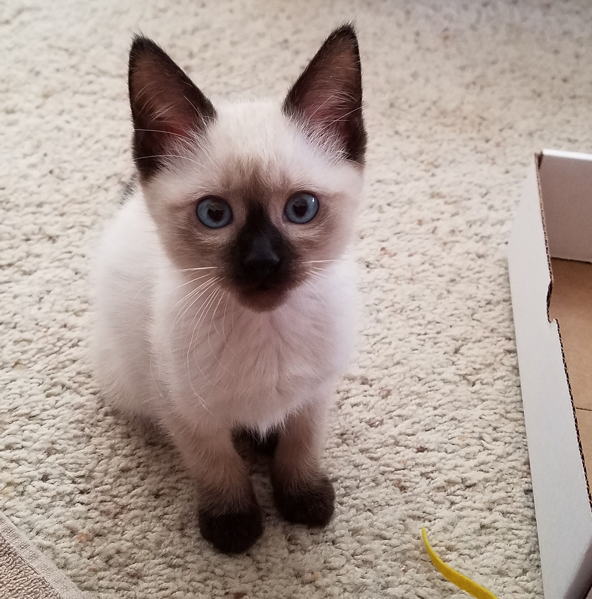 My New Siamese Kitty