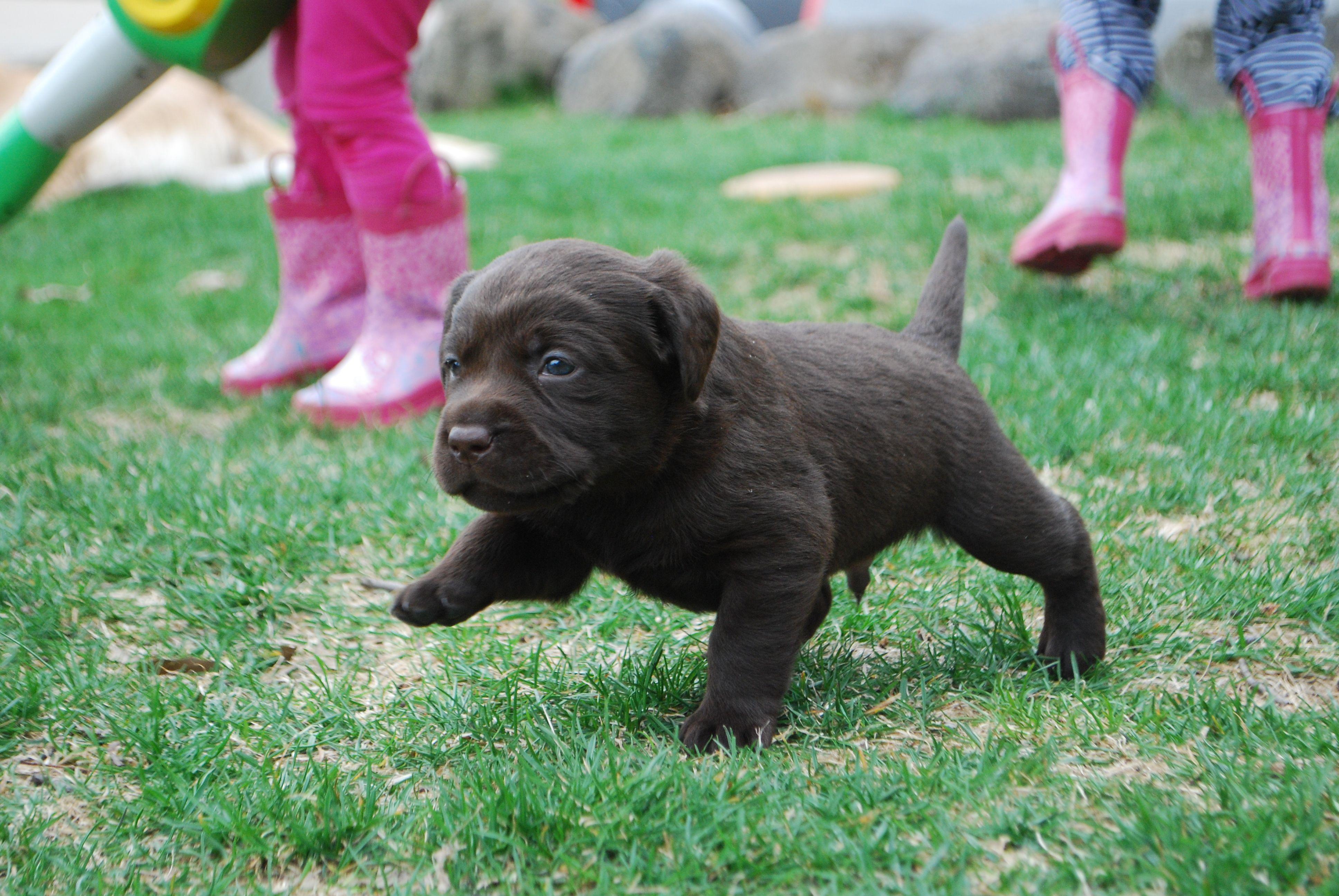Labrador retriever birth weight – Dog life photo