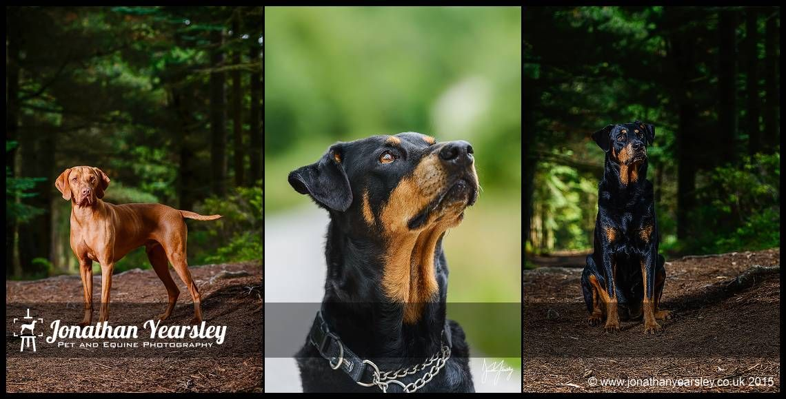 Forest Dog Photographer Rottweiler Cross And Hungarian Vizsla