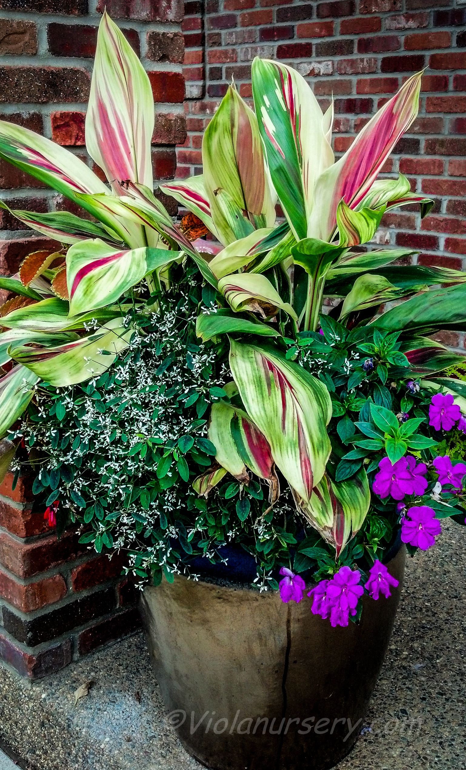 The Focal Point For This Shade Container Is Cordyline Partytime Destinationviola Container Gardening Shade Diy Container Gardening Garden Containers