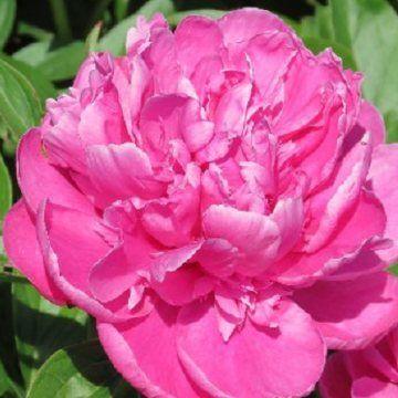 Hollingsworth Peonies Fragrans 24 Per Plant Flowers