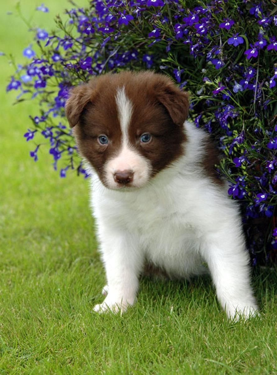 Border Collie Puppy Pictures Boarder Collie Puppy Collie