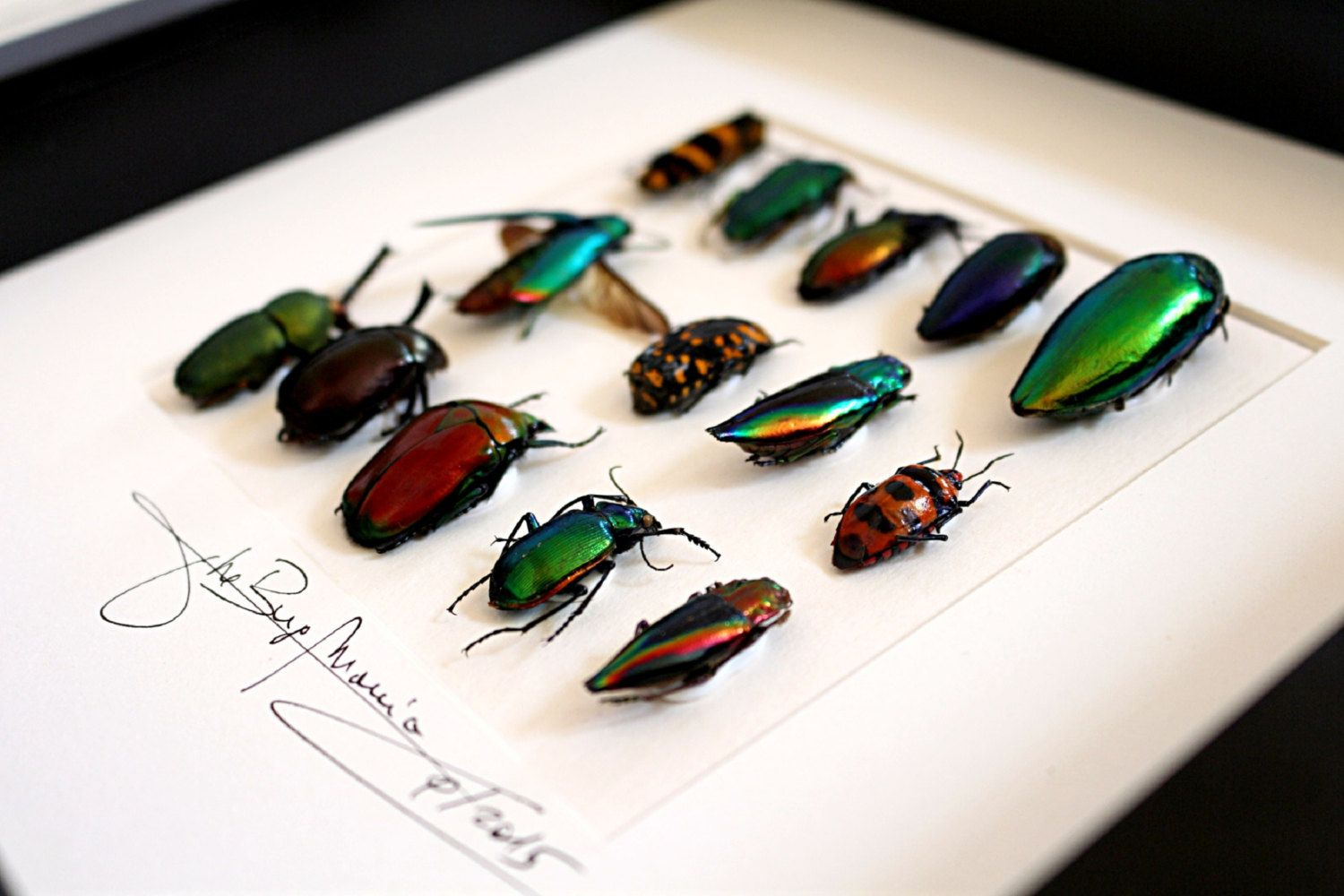 Artframe with real insects : Topquality display with beautiful insects of the world by Alanscollectibles on Etsy