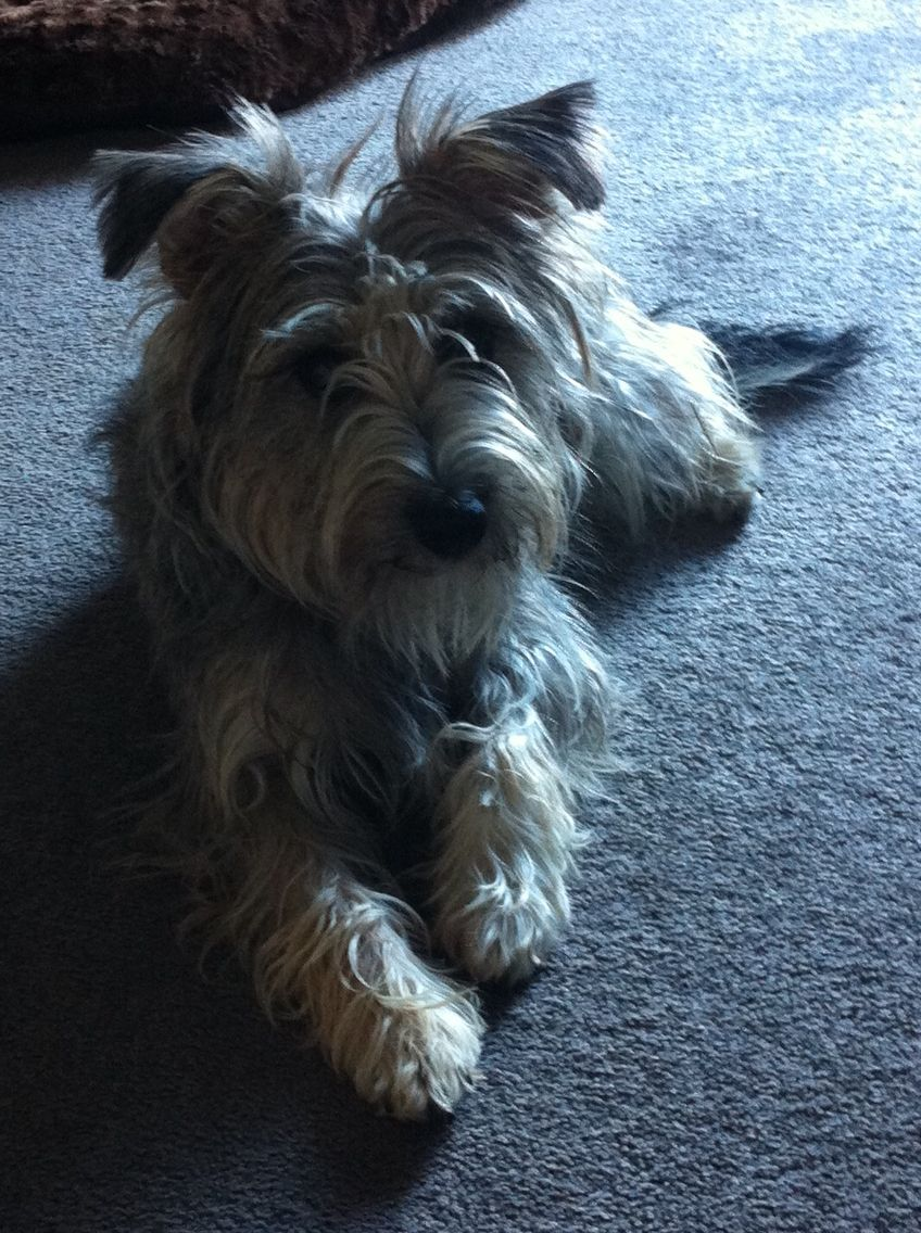 My sweet natured Mini Schnauzer x Fox Terrier | Dogs | Pinterest ...