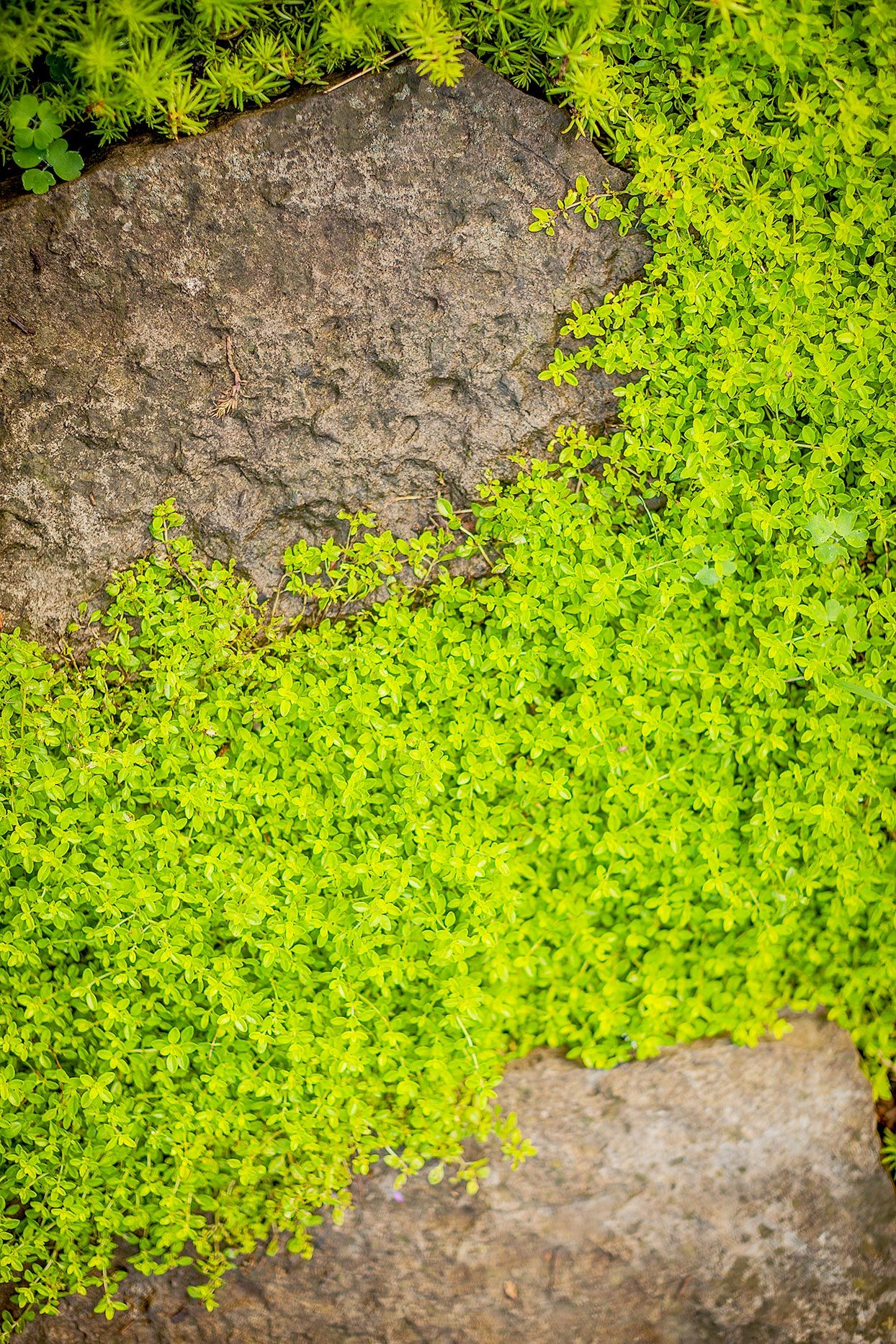 Thyme Ground Cover Perennials: 10 Great Groundcover Plants