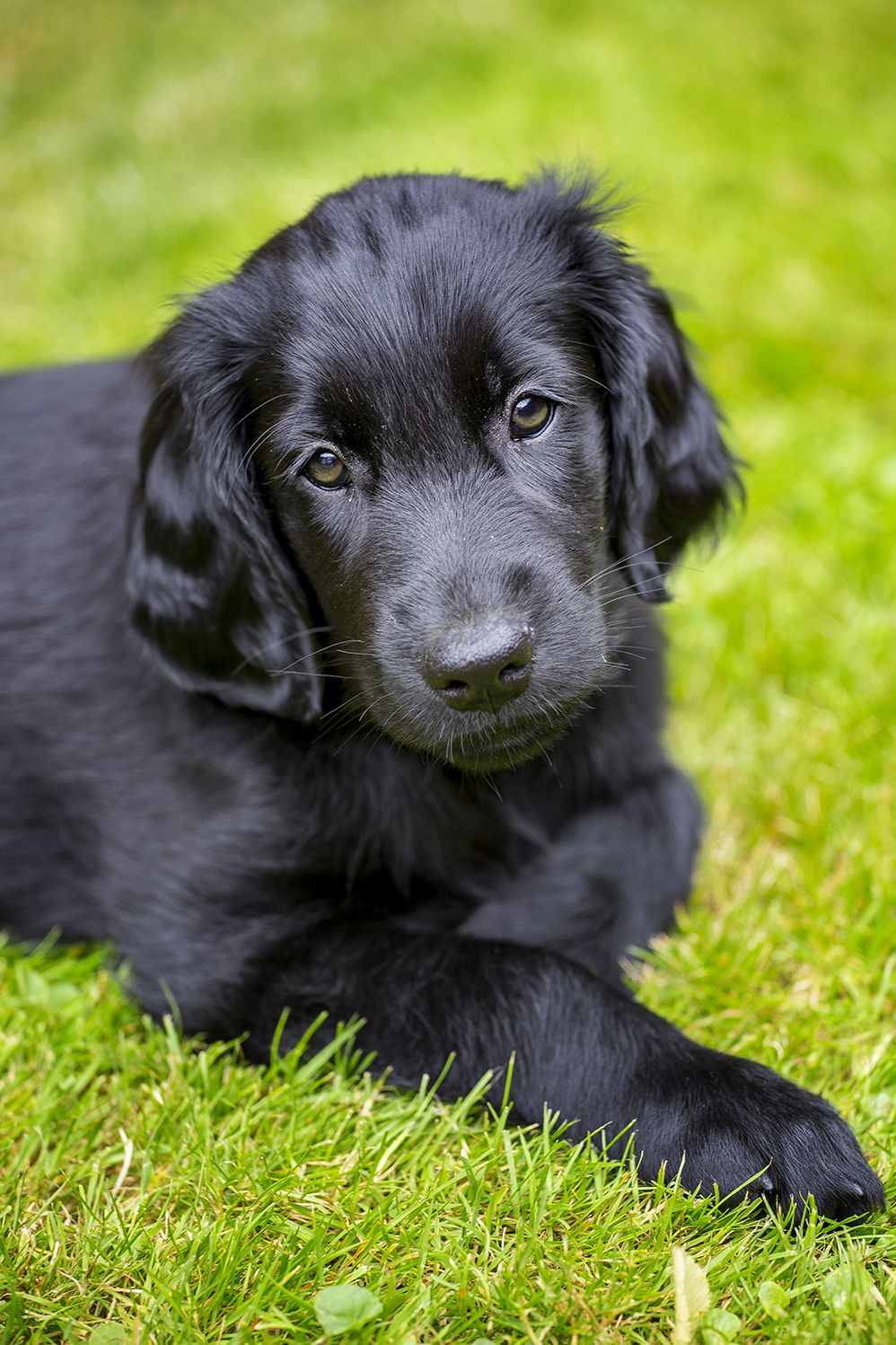 Flatcoated Retriever Puppy 8 weeks (With images