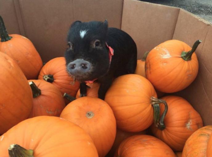 Pin by Katie Hinwood on Autumn Micro pigs, Autumn