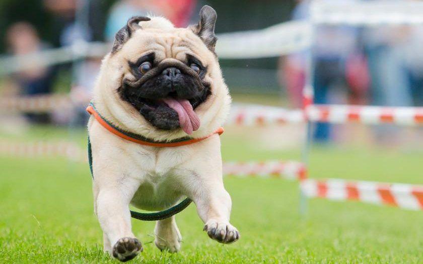Bulldog Calm Courageous And Friendly English Bulldog Puppies