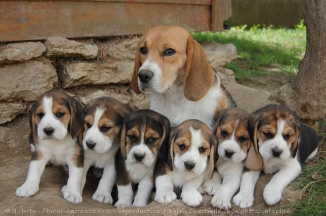 10 Exhilarating Beagles Make Great Pets Ideas Cute Beagles