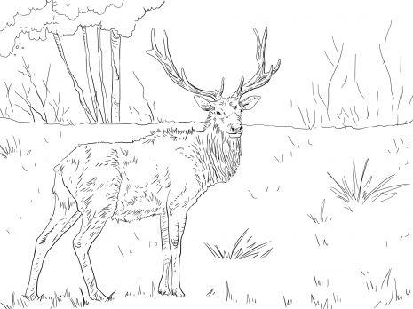 Roosevelt Elk Roosevelt Elk Deer Coloring Pages Free Printable