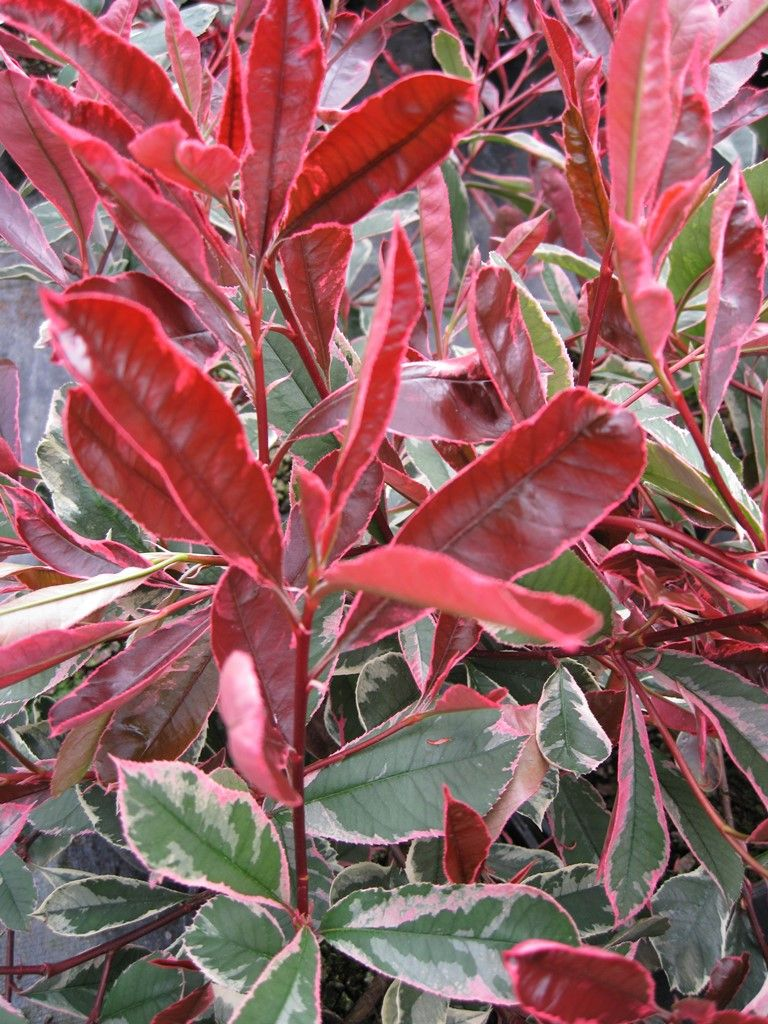 Photinia Fraseri Pink Marble Maréchal Red Plants Tropical Garden