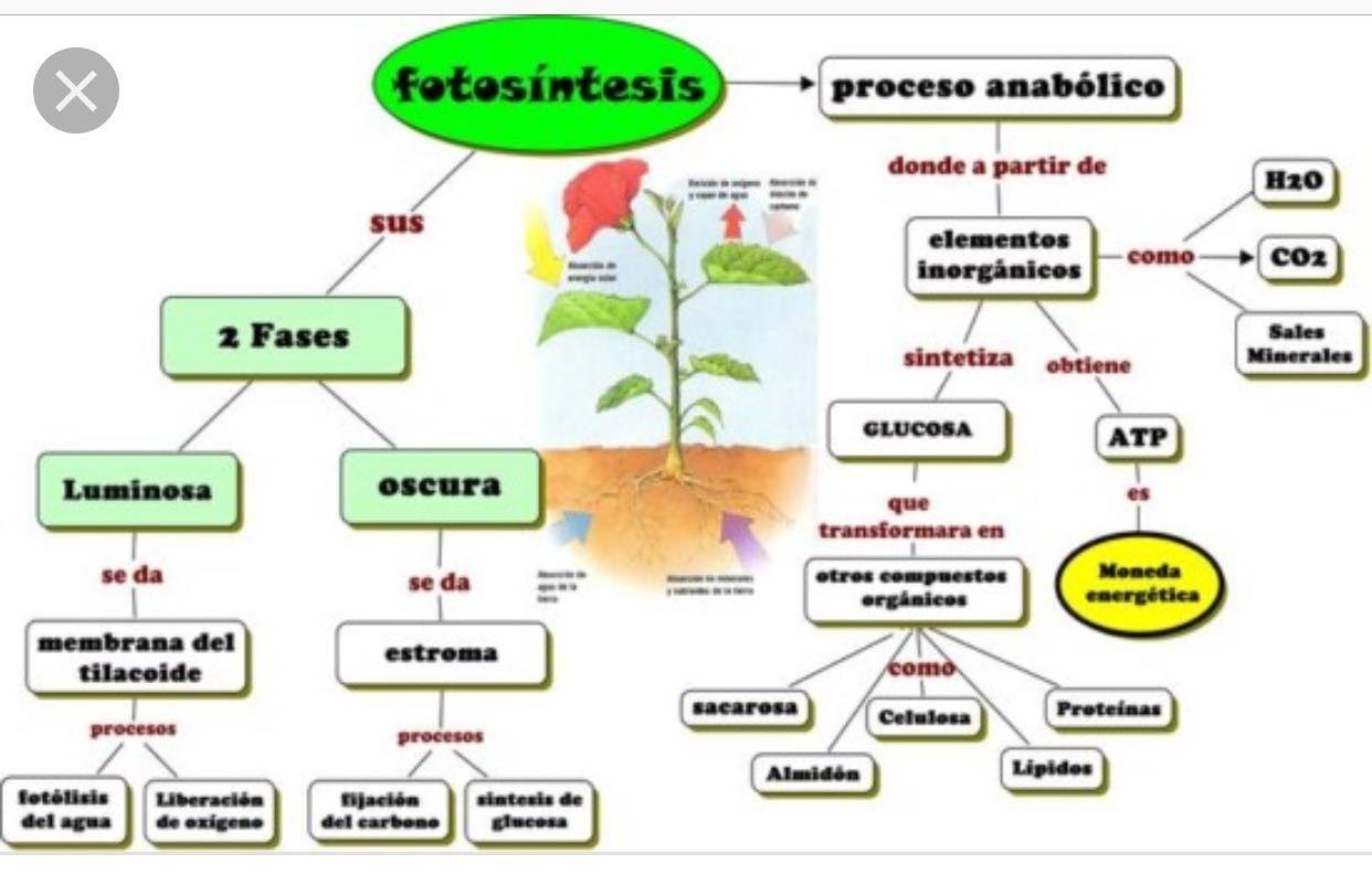 Pin De María Eugenia En Cs Naturales Fotosintesis De Las Plantas Proceso De La Fotosintesis Fotosintesis