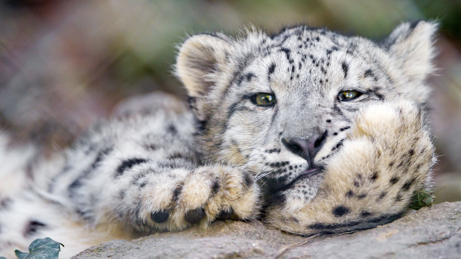 Snow Leopard Wallpapers Images Animal Wallpaper Petsprin
