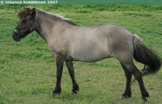 Icelandic Horse - mare Lukka frá Hviteyrum