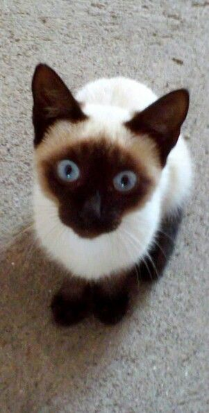 Siamese Cat Like My Cat Wally Siamese Cats Beautiful Cats Pretty Cats