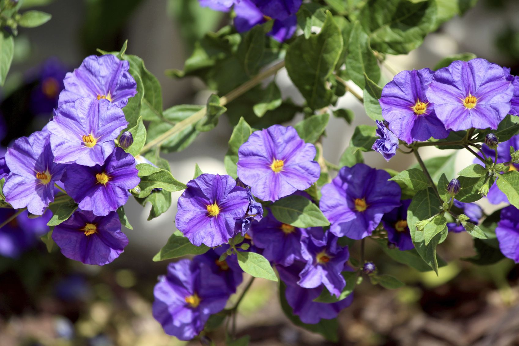 What Is A Potato Bush Information About The Blue Potato Bush Plant Bush Plant Purple Flowering Bush Purple Flowers Garden